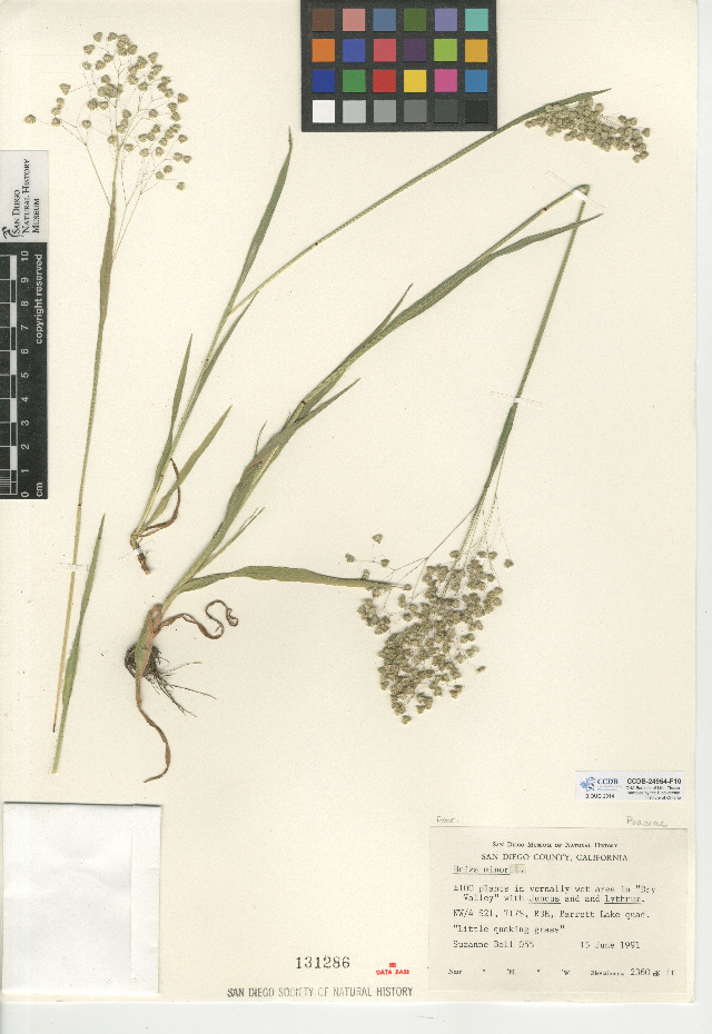 Image of little quakinggrass