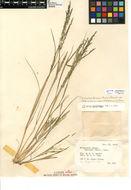 Image of <i>Diplachne fusca</i> var. <i>fascicularis</i>
