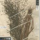 Image of <i>Eragrostis <i>mexicana</i></i> ssp. mexicana