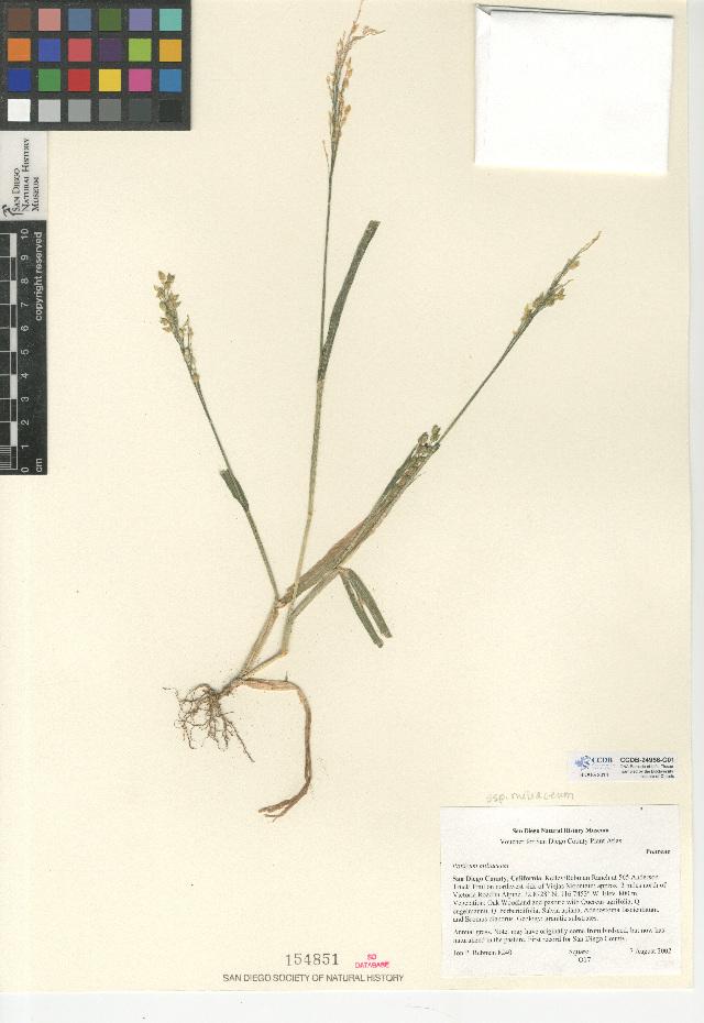 Image of broomcorn millet