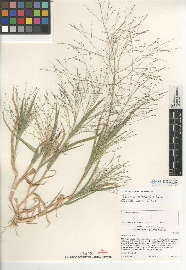 Image of Hillman's panicgrass