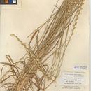 Image of intermediate wheatgrass