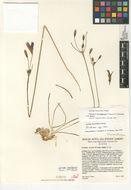 Image of Santa Rosa basalt brodiaea