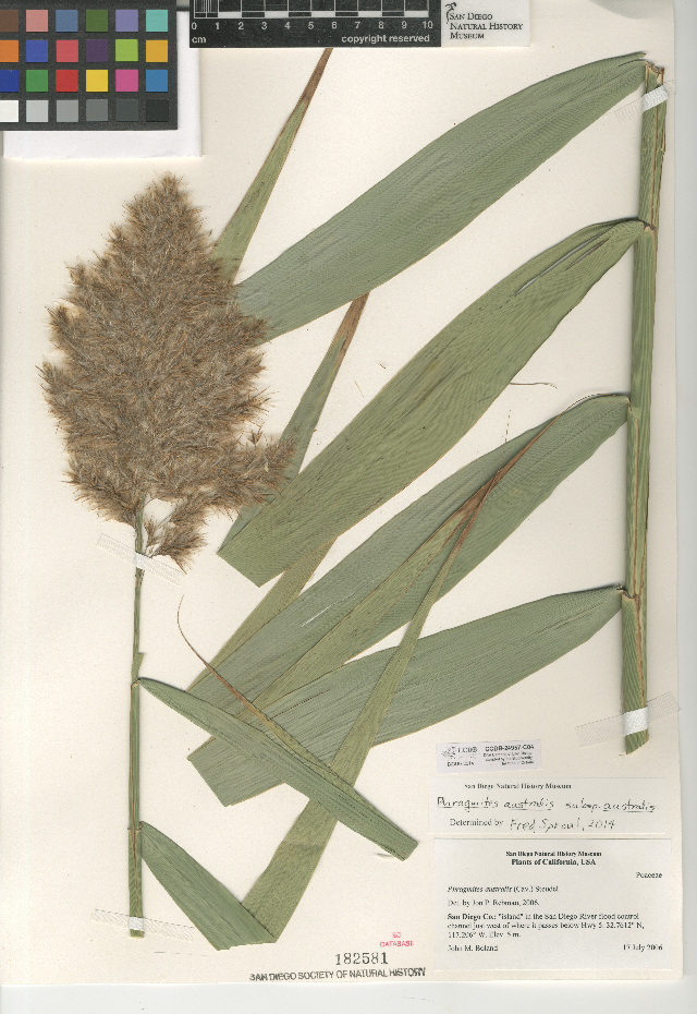 Image of European common reed