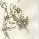 Image of Australian saltbush