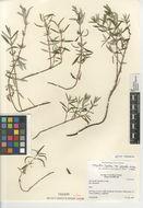 Image of <i>Monardella hypoleuca intermedia</i>