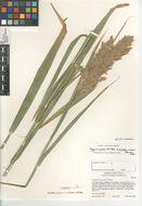 Image of <i>Phragmites australis berlandieri</i>