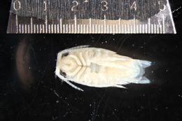 Image of <i>Excirolana chiltoni</i> (Richardson 1905)