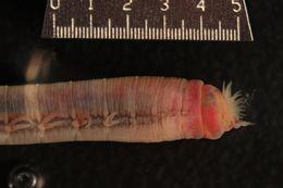 Image of <i>Thoracophelia mucronata</i> (Treadwell 1914)