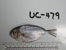 Image of California pompano