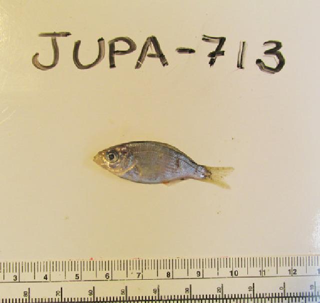 Image of Shiner Perch
