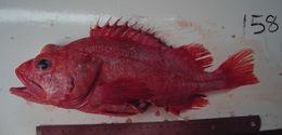 Image of Shortraker rock-fish