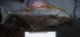 Image of Pacific halibut