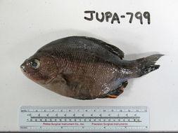 Image of Black perch