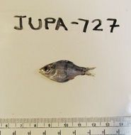 Image of dwarf perch