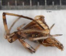 Image of <i>Oecobius navus</i> Blackwall 1859