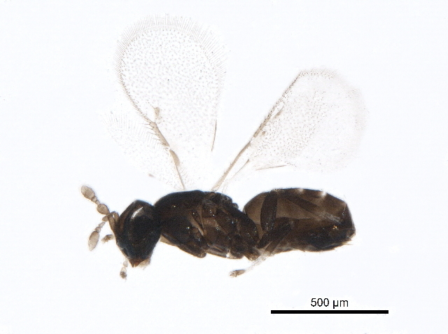 Image of Ophelimus