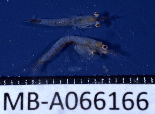 Image of Mesopodopsis
