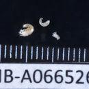 Image of Pagurapseudidae