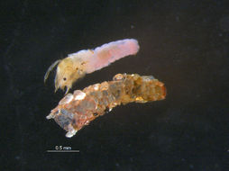 Image of <i>Oecetis avara</i> (Banks 1895)