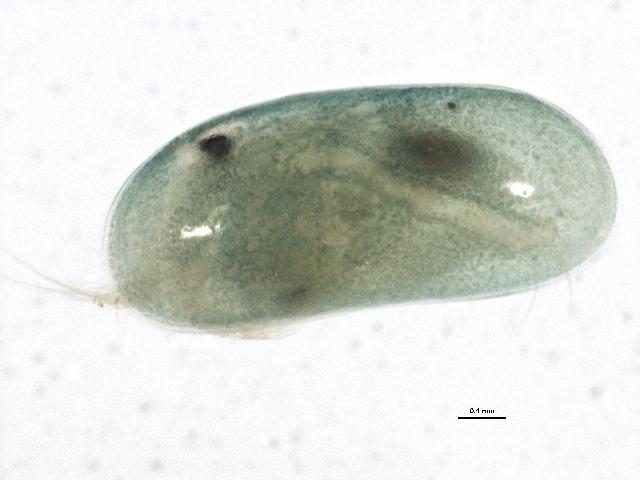 Image of <i>Herpetocypris chevreuxi</i> (G. O. Sars 1896)