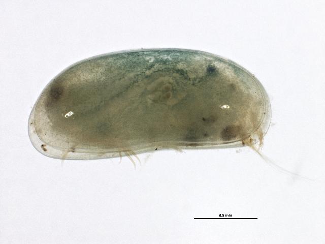 Image of Herpetocypris