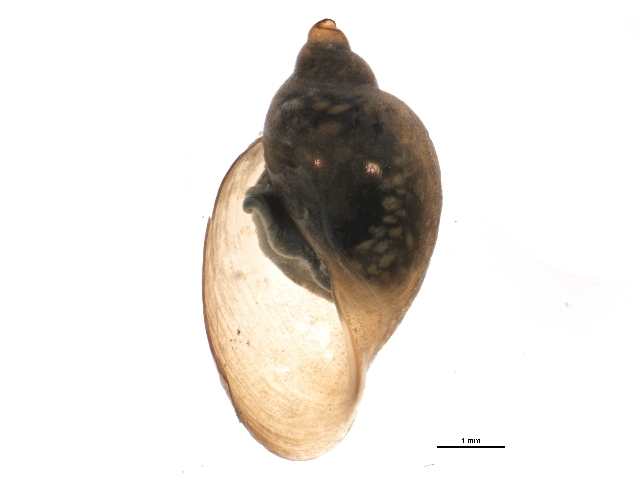 Image of <i>Physella anatina</i>