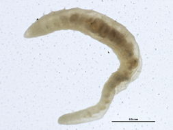 Image of river worm