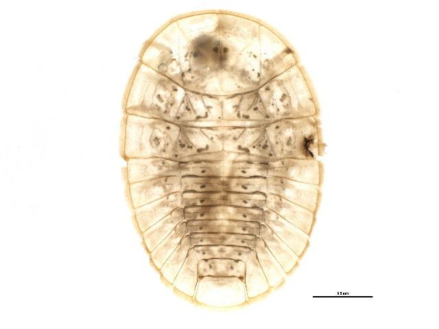 Image of <i>Psephenus falli</i> Casey 1893