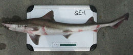 Image of Brown Smoothhound