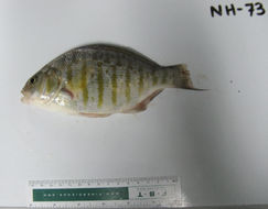 Image of Barred surfperch