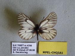 Image of <i>Mesapia peloria</i> (Hewitson (1853))