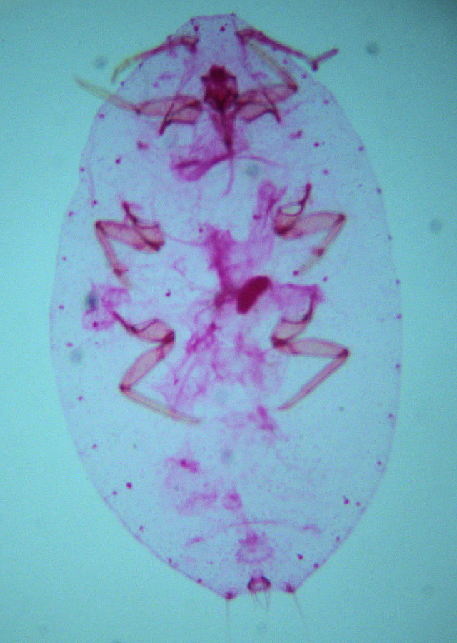 Image of Paracoccus