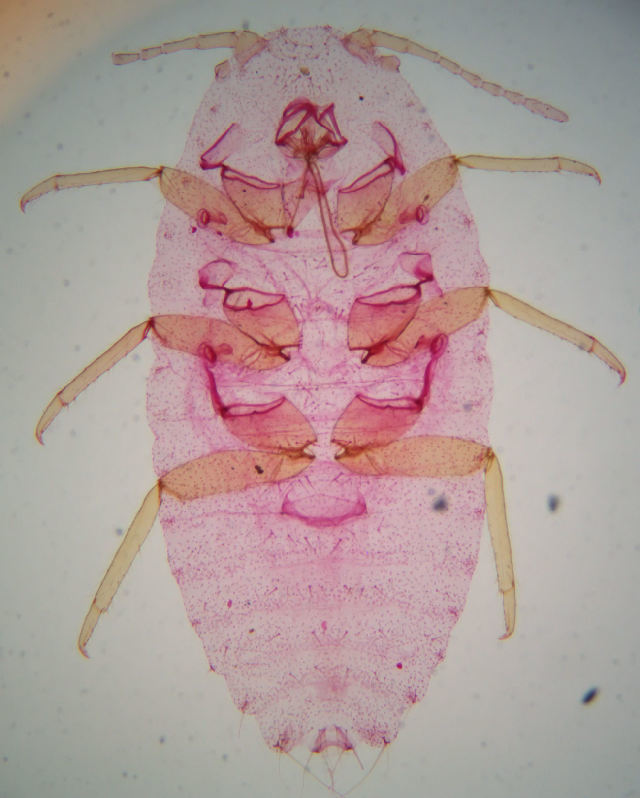 Image of Phenacoccinae