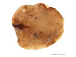 Image of <i>Toumeyella parvicornis</i> (Cockerell 1897)