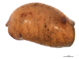 Image of <i>Neolecanium cornuparvum</i> (Thro 1903)