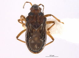 Image of Bueno's Velvet Water Bug