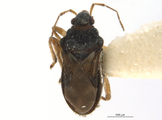 Image of <i>Hebrus sobrinus</i> Uhler 1877