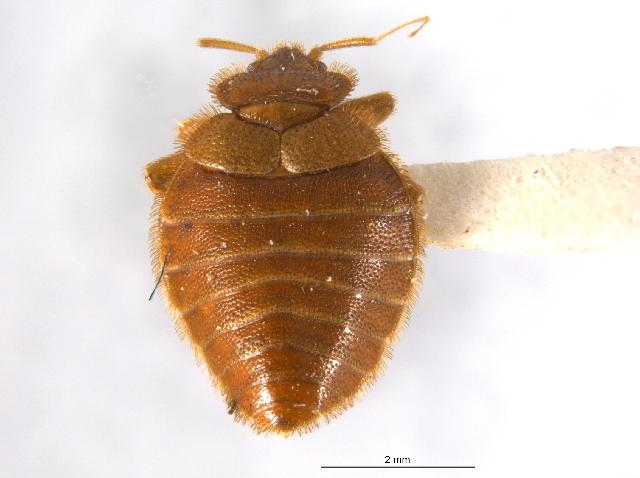 Image of bat bug