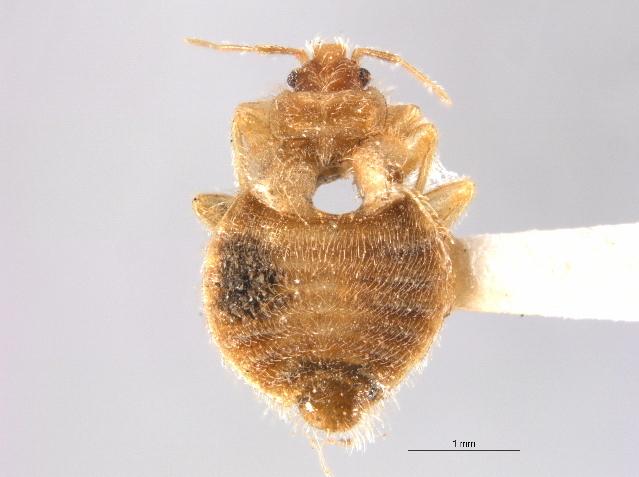 Image of <i>Oeciacus vicarius</i> Horvath 1912