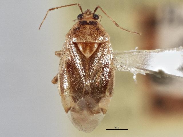Image of <i>Deraeocoris alnicola</i> Knight 1921