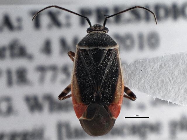 Image of <i>Polymerus americanus</i> (Reuter 1876)