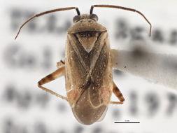 Image of <i>Polymerus basalis</i> (Reuter 1876)