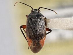 Image of <i>Polymerus chrysopsis</i> Knight 1925