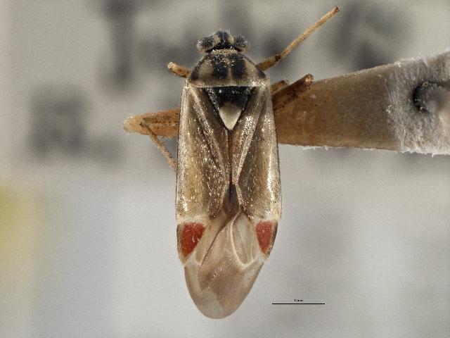 Image of <i>Polymerus vulneratus</i> (Panzer 1805)