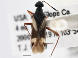 Image of <i>Orectoderus montanus</i> Knight 1968