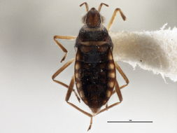 Image of <i><i>Microvelia</i></i> (Microvelia) <i>albonotata</i> Champion 1898