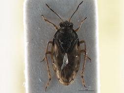 Image of <i>Saldula palustris</i> (Douglas 1874)