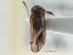 Image of <i>Trichocorixa calva</i> (Say 1832)