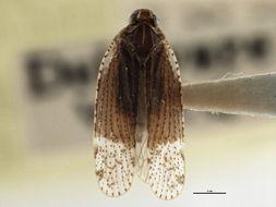 Image of <i>Cixius apicalis</i> Metcalf 1923